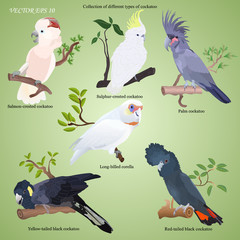Collection of different types of realistic cockatoo