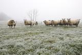 sheep herd on winter pasture in fog - 186706056