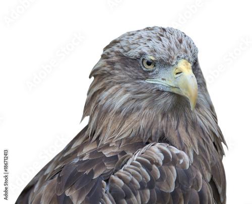 Plexiglas Eagle isolated on white eagle closeup