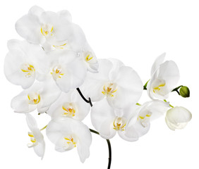 white large isolated orchid flowers on branch