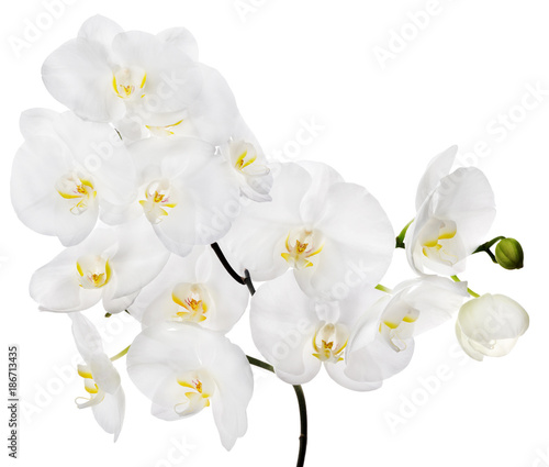 white large isolated orchid flowers on branch - 186713435