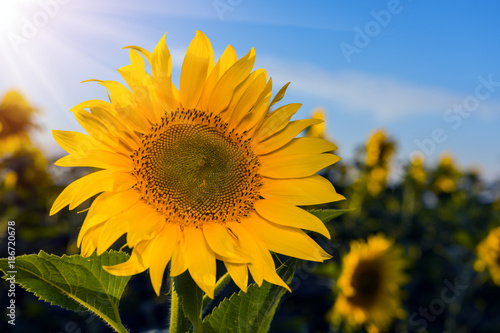 Fotobehang Honing Beautiful sunflowers in the field natural background