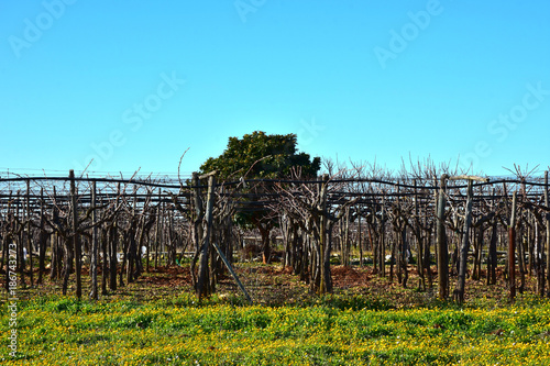 Foto op Canvas Pool Italy, Puglia region, typical countryside landscapes. Grape vine in winter.