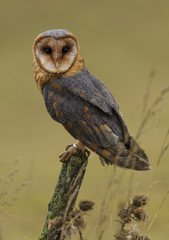 Barn Owl resting on the fence post