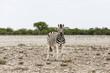 Foal of Plains Zebra, Etosha National Park, Namibia