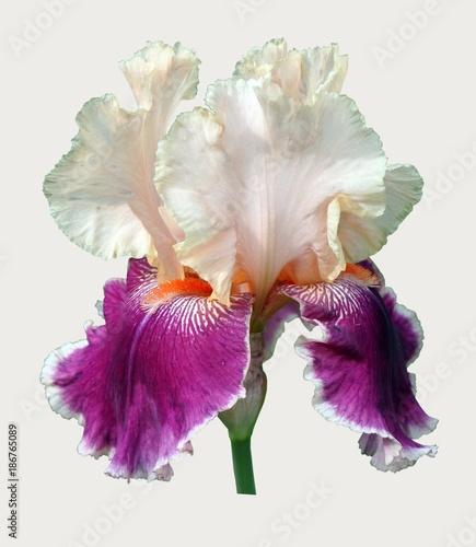 Fotobehang Iris iris flower