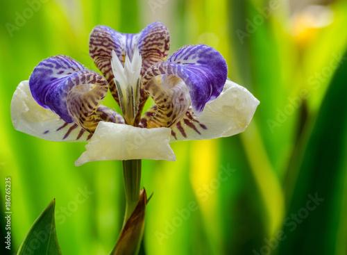 Fotobehang Iris Neomarica northiana flower super macro closeup, with a beautiful green background