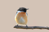 Extreme close up portrait of an European stonechat (Saxicola rubicola) on beige blurred background. Male - 186770819