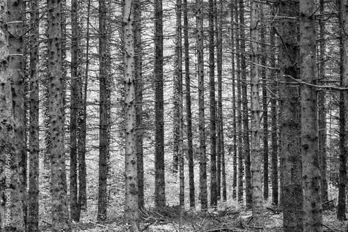 harmonic pattern of young trees in the french forest - 186776496