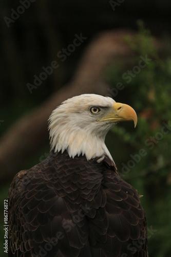 Plexiglas Eagle Portrait of a Bald Eagle