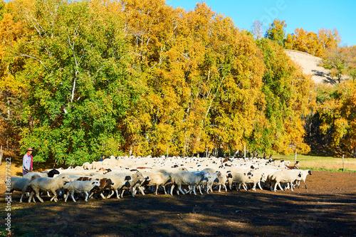 Foto op Plexiglas Honing The flock of sheep on the hillside.