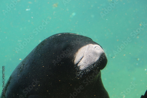 Portrait of a Manatee in the Sea Poster