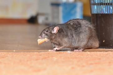 rat © andwill