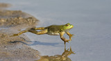 Adult American bullfrog (Lithobates catesbeianus) jumping in a forest lake, Ames, Iowa, USA - 186788479