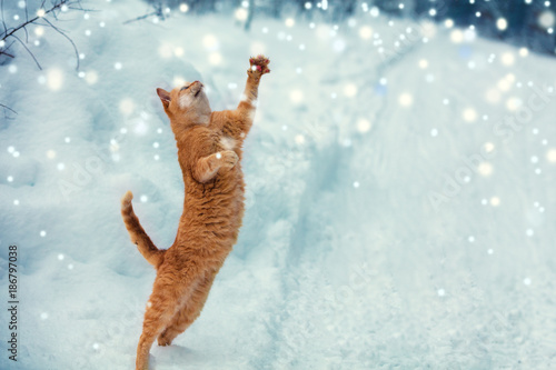 Fotobehang Kat A red cat catches snowflakes during a snowfall