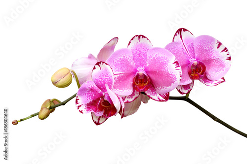 orchid flower isolated on white background - 186804640