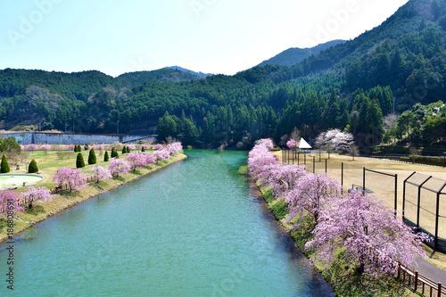 Fotobehang Nachtblauw 川沿いの満開の桜
