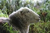 Herdwick sheep, Dorset - 186814474