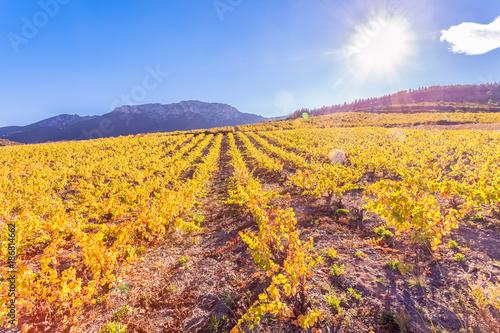 Vineyard vignes des Côtes Catalanes sous le chaud soleil d'automne