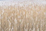 Dry reeds background - 186828620