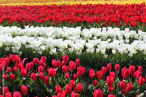 Fotobehang Tulpen Tulip Fields