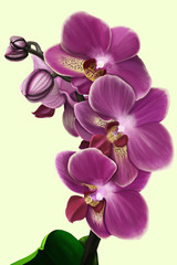 The sprig of a purple orchid phalanopsis on a gentle monophonic background