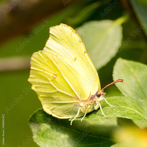Common brimstone  (Gonepteryx rhamni) on prune leaf (Prunus) - diagonal front view - 186842432