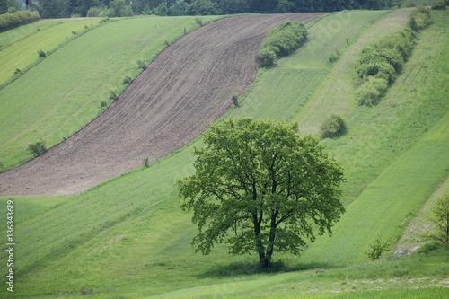 Fotobehang Olijf samotne drzewo