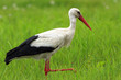 Poland, Biebrzanski National Park – closeup of a White Stork bird in a nest – latin: Ciconia ciconia