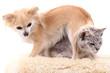 gray cat and chihuahua