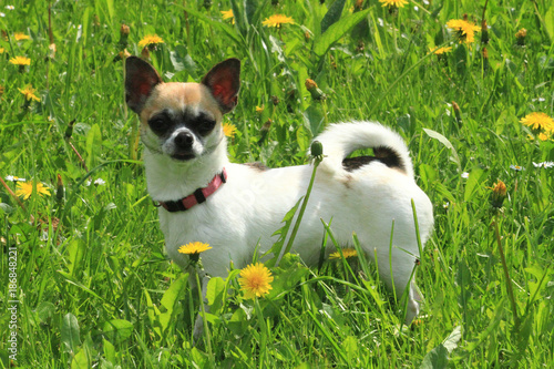 chihuahua in the green grass