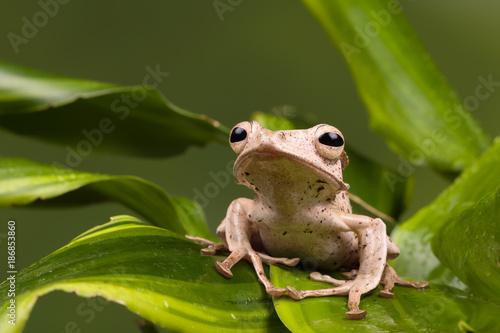 Aluminium Kikker Tropical Borneo Eared frog