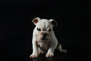 purebred English Bulldog puppy action on balck screen