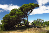 Pinie vom Wind gebeugt - 186859439