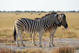 Steppenzebras (Equus quagga) im Etosha Nationalpark (Namibia)