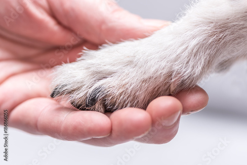 Close up view top of dog paws and human hand - friendship between jack russell t Poster