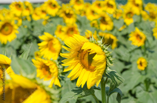 Keuken foto achterwand Geel green and yellow sunflowers in the greenouse