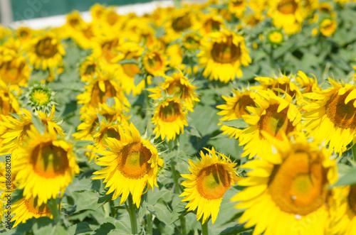 In de dag Geel many sunflower in the grennhouse