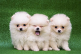 Funny puppies on a green background. Puppies of the Spitz. Christmas card with dogs. - 186873611