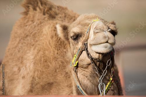 Fotobehang Kameel The big yellow camel