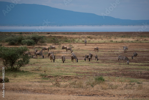 In de dag Blauwe jeans Wildebeest in Lake Manyara National Park, Tanzania