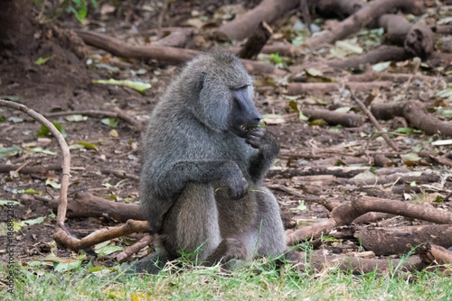 Poster Baboon family in Lake Manyara National Park, Tanzania