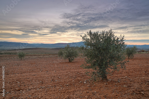 Tuinposter Diepbruine Sunset in an olive field