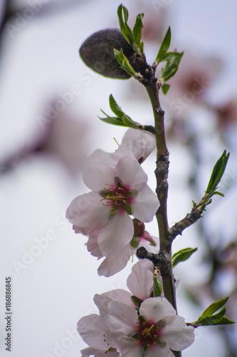 Flores de almendro - 186886845