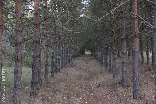 Road in forest Repoblación