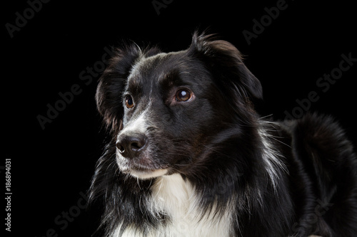 Fototapeta border collie on a black background