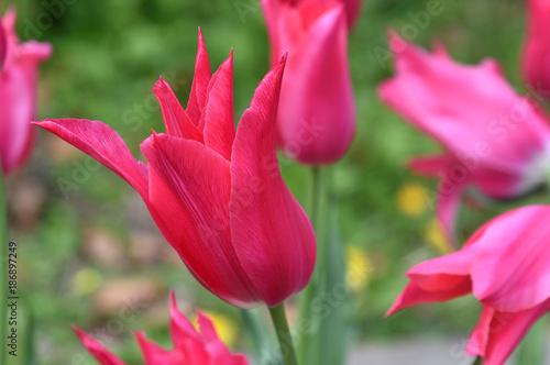 Tulipe rose à fleur de lys - 186897249