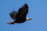 American Bald Eagle - Flight - 186897653