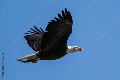 Plexiglas Eagle American Bald Eagle - Flight