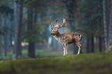 Fallow deer buck (dama dama) on grass in autumn forest. Side view. - 186908626